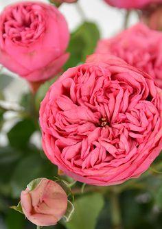 Anna Truelsen #flowers #pink