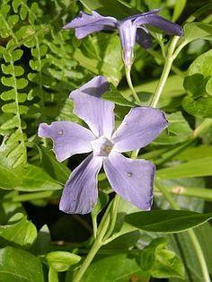 Vinca major - barvínek větší Botany, Plants, Plant, Planets