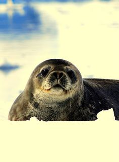 adorable baby seal in #Antarctica   - Explore the World with Travel Nerd Nici, one Country at a Time. http://TravelNerdNici.com