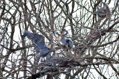 Stopped to check on the blue heron's island rookery in Dredge Harbour on March 21, 2017. No evidence of offspring yet.