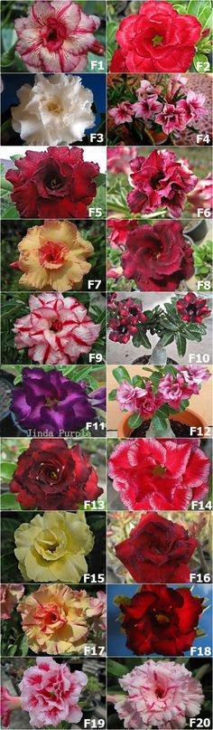 The Rosy Adenium 2016 : Flower gallery set F