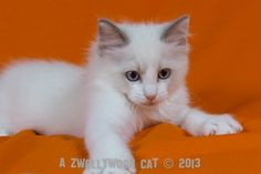 2013: Tsu'Tey A Zwollywood Cat. 10 Weeks old Ragdoll kitten, blue bicolour. Avatar litter.