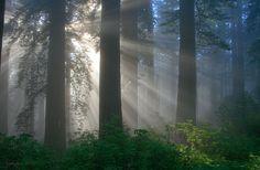 California Redwooods
