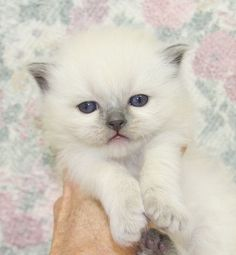 Ragdoll kitten !