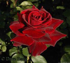'Mister Lincoln' Rose: tall, fragrant, deep velvet red flowers