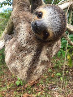 Happy Sloth Sunday! Did you know Three-toed sloths can turn their heads almost 360 degrees? You can see it clearly in this picture of Ady! Sloths can have up to three extra neck vertebrae at the base of their neck which gives them the possibility to swivel their necks up to 270 degrees in either direction, or three-quarters of a complete rotation. Credits: Picture by Intern Jenn Nguyen