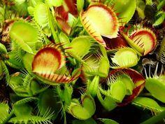 Dionaea muscipula 'Cross Teeth' - Venus Flytrap