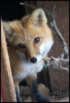 Red Fox by Keimoni on deviantART