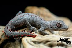 """iguanamouth: """" xxxkyrareaperxxx: """" azzventura: """" Strophurus wellingtonae. australian Spinytail-Gecko Saw this guy at a reptile expo in Melbourne a week or so ago .I was really intrigued by them and they were most certainly out of my price..."""