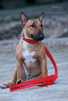 bull terrier... Red bullies have always been my favorite!