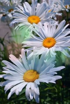 All The Pretty Flowers Flowers Nature, Exotic Flowers, Amazing Flowers, White Flowers, Beautiful Flowers, Floral Photography, Nature Photography, Margarita Flower, Sunflowers And Daisies