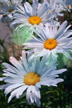 Ромашки словно чистая вода.. Их часто дарят людям в знак признания.. Известно - там, где падает звезда... Цветёт ромашка...Загадай желание !