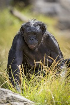 Bonobos were not formally identified by scientists until 1926. Before that, they were thought to be another type of common chimp. They are still the least understood of the great apes.