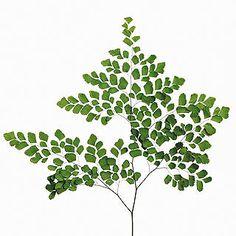 Adianthum - Green
