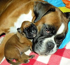 My boxer Xeros with his mummy, 1 day old !