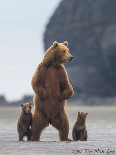 Tin Man Lee is a premiere wildlife photographer. His photographs of birds, bears and numerous other wildlife is a lesson and inspiration to all. Nature Animals, Animals And Pets, Baby Animals, Funny Animals, Cute Animals, Wildlife Nature, Beautiful Creatures, Animals Beautiful, Photo Animaliere