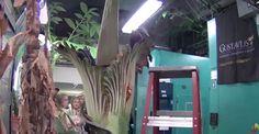 L'arum titan, la plus grande fleur du monde est aussi celle qui sent le plus mauvais.