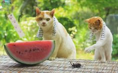 Pictures of cute cats in Japan Japanese Bobtail, Japanese Cat, Japanese Travel, Kittens Cutest, Cats And Kittens, Dog Emoji, Bobtail Cat, Dog Comics, Neko Cat