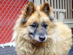 SAFE-+++ 01/11/15 Manhattan Center    Pulled by All Breed Rescue, Vermont  MALE, TAN / BLACK, CHOW CHOW / BELG TERVUREN, 8 yrs STRAY - STRAY WAIT, NO HOLD Reason STRAY  Intake condition GERIATRIC Intake Date 01/07/2015, From NY 11434, DueOut Date 01/10/2015,
