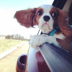 Finley : My ears blow in the wind when I hang out of the car. I looooooove it :-)