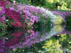 астильба в цвету