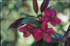 Royalty Crabapple has deep purple foliage and red blooms. Grows 18-20 feet tall, and spreads up to 20 feet. Zones 3-7.
