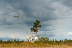 07 June 2010 Kuumo, Finland A pair of whooper swans warn off another, which has entered their territory.