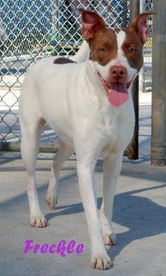 5/21/15 ♥♥ BEAUTIFUL GIRL! ♥Please give me a chance! I AM A GOOD GIRL, I WANT TO BE PART OF YOUR FAMILY! ♥♥ 4/30/15 ***STILL LISTED***~ 1-27-15 Freckle Pit Bull Terrier Mix • Adult • Female • Medium Outer Banks SPCA and Dare County Animal Shelter Manteo, NC Has been at the shelter for nearly a year!