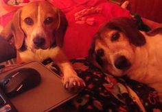 We are Lynette and Bojangles!  Lynette is a 3 year old Beagle  from Hickory Hill Canine rescue in Ashland and is a big cuddle baby.  Bojangles is a 7 year old beagle from the Richmond SPCA who is the sweetest baby.  He loves to give kisses. Both belong to Jim & Judy Kellogg.