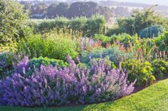 A mass of purple flowered catmint borders a deep bed of perennials with views of the countryside beyond in the Frasers garden.