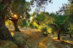 Dirt road among olive trees under bright sunlight beams Kalamata, Messinia, Greece , Greek Beauty, Olive Gardens, Photo Tree, Olive Tree, Image Now, Sunlight, Beams, Country Roads, Bright