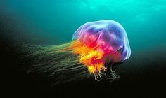 The lion's mane jellyfish is one of the most dangerous, and the largest, in the world
