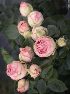 David Austin Rosen, Fragrant Roses, 1 Rose, Carnations, Peonies, Arts And Crafts, Backyard, Hydrangeas, Jasmine