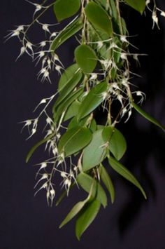 Bulbophyllum macrourum