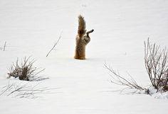 Der Fuchs wird bis heute auf der ganzen Welt gejagt. Doch nach diesen 22 Fotos wirst du Füchse lieben. - Mainpage des Tages 24.12.2015   Funcloud