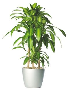 Renowned for its beautiful arched shape, lanceolate foliage that is often variegated. The plants of Dracaena family are undoubtedly one of the best large indoor plants.  As an indoor plant, the Dracaena needs bright indirect sunlight to grow. But exposure to 2 or 3 hours of mild morning sun per day is favorable.