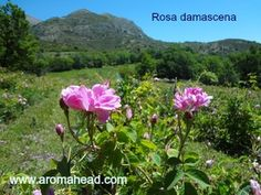 Rose damascena essential oil distilled from the petals of this species of rose plant.  The aroma  is pure floral beauty and so emotionally uplifting. Learn how essential oils are produced, and  some common methods of use.  Enroll in this complementary class at Aromahead Institute:  http://www.aromahead.com/class/introduction-to-essential-oils