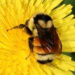 Carpenter Bees Sting #carpenter #beessting