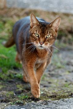 we love cats. Pretty Cats, Beautiful Cats, Animals Beautiful, Cute Animals, Kittens Cutest, Cats And Kittens, Cat Pose, Cat Character, Brown Cat