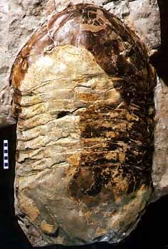 Largest known trilobite - a new species of Isotelus - image copyright Manitoba Museum