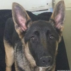 Diesel, a German Shepherd puppy, was found abandoned with spinal injuries. The injuries effect his back legs and make him very wobbly. He will need spinal surgery to relieve the pressure on his nerves.