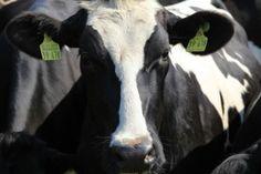 #zwierzęta #gospodarstwo #portalrolniczy #rolnik #wiadomoscirolnicze #porady