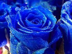 La fleur bleu