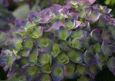 Grow these legendary flowering shrubs in a small space with HGTV Gardens'…