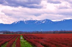 Mission, BC ~ cranberries and dairy cows Bc Home, Fraser Valley, The Province, Cranberries, Cows, British Columbia, West Coast, Vancouver, Dairy