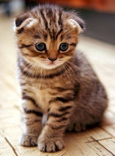 Scottish Fold Cat - The Scottish Fold (or Coupari in Canada), has a dominant genetic mutation that causes the cartilage in their ears to have a fold, sometimes even up to two or three folds! This makes their ears flop forward, giving them their distinctive appearance.