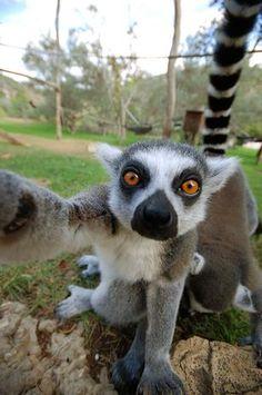 """Felix Tchvertkin teve sua câmera """"roubada"""" por um lêmure no zoológico de Jerusalém e o primata aproveitou para tirar um """"autorretrato"""" Foto: The Grosby Group"""