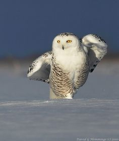 A perfect Snowy Owl in perfect Nature is a great way to cherish your perfect intuitive intelligence!