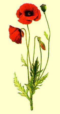 Resultado de imagen para amapola libro botanica