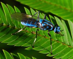 Blue Soldier Fly